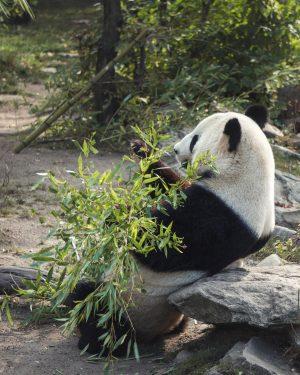Giant Panda 🇦🇹
