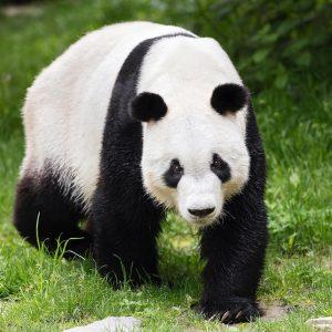 Erster Ausflug von Panda-Männchen Yuan Yuan in die Außenanlage! 💕 Fotograf @zupancdaniel war ...