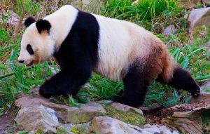 Mit der Aufzucht ihrer Zwillinge Fu Feng & Fu Ban sorgte Yang Yang ...