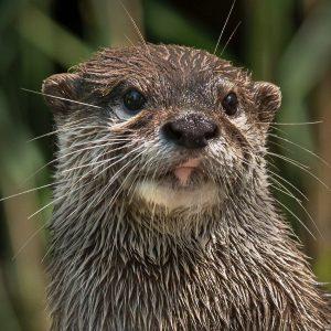 Happy World Otter Day! ❤️ Schon gewusst, dass Zwergotter an Fingern und Zehen ...