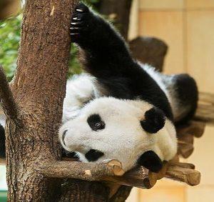 Sanftmütig und schlau: Mit diesen beiden Eigenschaften wird das Panda-Männchen Yuan Yuan 🐼beschrieben, ...