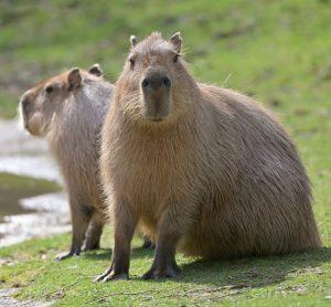 Unsere Wasserschweine genießen das frühlingshafte Wetter! ☀️💦 Macht euch einen schönen Tag! 📸 ...