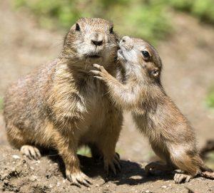 #babynews ❤️ Das sonnige Wetter lockt die vier Präriehund-Jungtiere aus ihrem unterirdischen Bau! ...