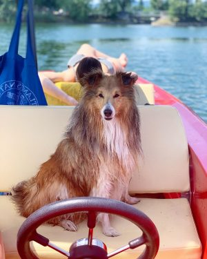 All aboard!⛵️ Captain Bobby at your service😎 #sheltie #shelties #sheltielove #dog