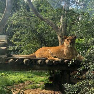Königin der Löwen ;-) #zoovienna #tiergartenschönbrunn #lion #löwin #zoo #igersvienna #viennablogger #welovevienna #wienstagram ...