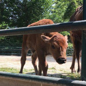 Willkommen! 💞 Es gibt Nachwuchs bei den Bisons! Das männliche Jungtier ist am ...