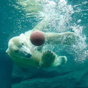 Bei den Temperaturen einfach mal abtauchen! 💦💦 Eisbären sind gute Schwimmer. Sie können ...