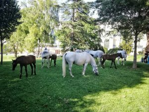 Piber meets Vienna The young Lipizzaner foals and their mothers enjoying their afternoon in Burggarten. . ....
