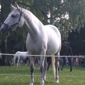 В Австрии есть прекрасные лошади-люпицианы. Их невозможно оценить,они не продаются. Они рождаются темного цвета,а к 3 годам...