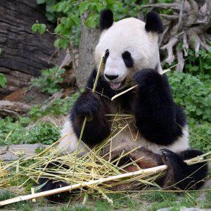 Alles Gute, Yang Yang! 🐼🥳 Unser Panda-Weibchen feiert heute ihren 19. Geburtstag! Wir haben ihr einen kleinen...