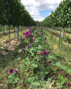 Der Blick in den Weingarten verschönert jedes achtel und ergänz jede Bretteljause. 🌞🍷🌺 #wieningeramnussberg #wien #buschenschank #wieninger...