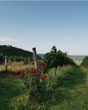 Rosen sind rot, Veilchen sind blau, Auf der Buschenschank gefällt's dir, Das weiß ich ganz genau. #buschenschank...