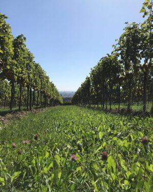 So ein Weingarten aus der Froschperspektive hat auch was für sich, ribbit ribbit. 🐸 :)) #weingarten #wieninger...