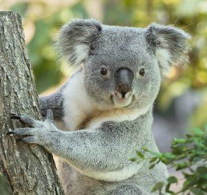 Unsere Koalas 🐨 sagen DANKE! ♥️ Genau vor einem Jahr haben wir die Herzenspatenschaften für die Koalas...