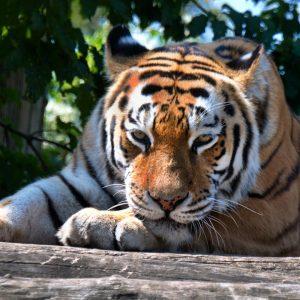 Faulenzen und die Sonne genießen! ☀️🐅 Unser Sibirischer Tiger macht es vor! 😉 ...