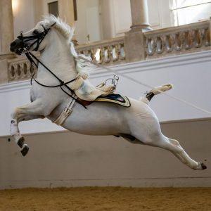 Maestoso Theodorosta 🐴🐎 executing a perfect capriole. ❤️ Theodorosta is trained by rider Philipp Burg. 🐴 ....