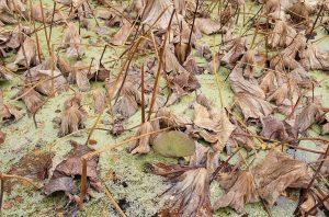 Autumn🍂 #autumn #leaves #waterlily #plant #botanicalgardens #brown #colour #colourpop #pond #botanical #beutiful #nature