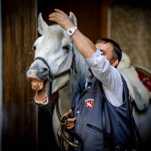 Lovely Siglavy Batosta 🐎🐴 getting prepared for the performance by his great groom Yusuf Kanyücel. ❤️ ....