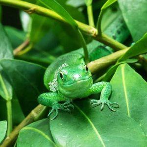 Wir feiern heute unsere Tiere aus dem Terrarienhaus, denn heute ist #reptileawarenessday! 🦎 Die Grüne Baumeidechse ist...