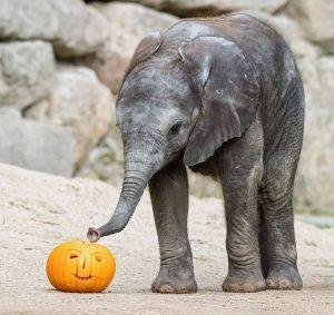 🎃 Halloween im Zoo! 🎃 Heute werden unsere Tiere mit Halloween-Kürbissen überrascht.👻 Im Rahmen der kommentierten Fütterungen...