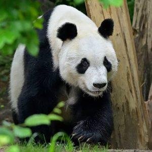 Panda-Männchen Yuan Yuan wünscht euch einen tierisch guten Mittwoch! 🐼 Der Große Panda ...