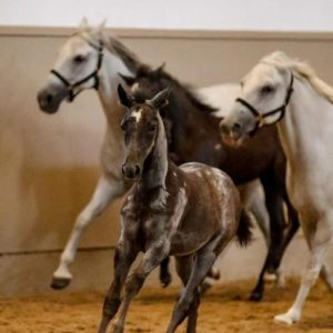 At what age do you think the Lipizzaner foals turn white? 🐴❤️ . . . ©SRS/ Petra...
