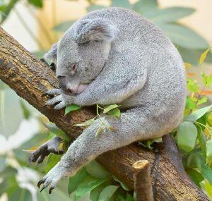 Koalas dösen rund 20 Stunden am Tag. 💤 Sie können aber auch anders ...