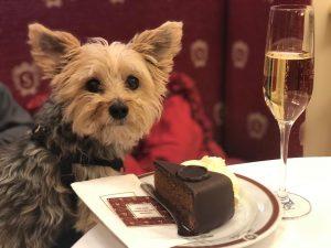Enjoying my slice of the original Sacher Torte!! #cafesacher #gastonthemorkie @gastonthemorkie @robghoffman @swiss_miss_mb Sacher Hotels