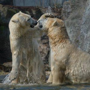#polarbearweek 🐾 Bei uns im Tiergarten leben die beiden Eisbären Nora und Ranzo. ♥️ Eisbären sind sehr...