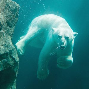 Den Eisbären schmilzt aufgrund des Klimawandels das Eis buchstäblich unter den Pfoten weg. ...