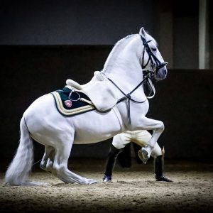 This is stallion Maestoso Alea presenting a perfect Levade with rider Marius Schreiner with such grace. What...