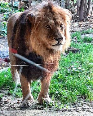 Lions at Schönbrun Zoo #tiergartenschönbrunn #zoo #lions #natureinthecity #naturephotography #igersaustria #igerswien #igersvienna #explorevienna #meinwien #thisisvienna #viennagram #viennamylove...