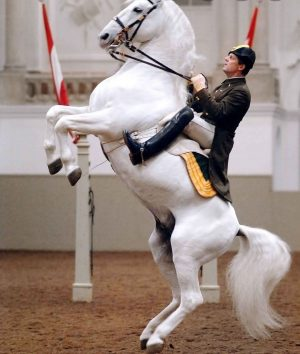 I can't wait to see these magnificent horses in February #lipizzaner #vienna #austria
