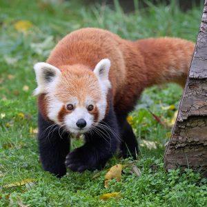 Ab ins wohlverdiente Wochenende 🙌Rote Pandas sind mit ihrem Fell und ihrer dichten ...