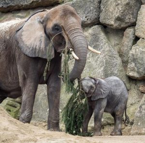 Das schmeckt! 😋 Für unsere Elefanten gab es heute eine besondere Überraschung 🌲: die 18 Meter hohe...