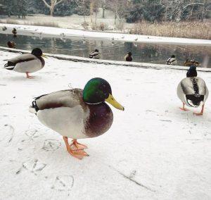 Diese Fußstapfen! #ente #duck #footsteps #snow #schnee #snowinvienna #wien #währing #türkenschanzpark #park #teich #vienna #igersvienna #schnee #schneezauber...