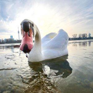 Hey Duu! Hast du was dabeei? #schwan #swan #höckerschwan #altedonau #wien #vienna #donau ...