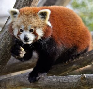 Erstmal frühstücken ❣ Wusstet ihr, dass Rote Pandas zu den Katzenbären 🐾 zählen und nicht mit dem...