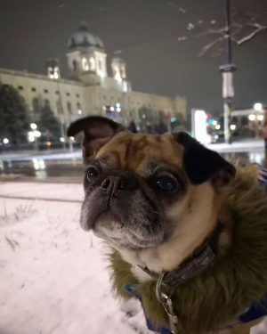 Yesterday night we finally had snow in Vienna! Meanwhile it is gone again... Thanks to @altwienermops for...