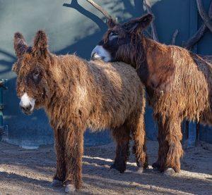 #sundaymood 🤩 Macht es wie unsere Poitou-Esel und lasst es euch gut gehen. 🥰 📸 Christian Kunz...