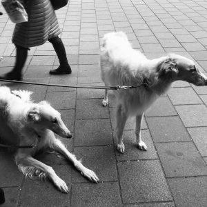ein edler Windhund müsste man sein, mit noch edlerem Frauchen Zum Schwarzen Kameel