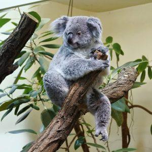 Fluffy cuteness #koala #ilovekoalas #theworldneedsmorekoalas #tierparkschönbrunn #tiergartenschönbrunn #wienliebe #bunji #koalalove Tiergarten Schönbrunn