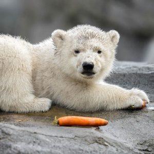 Generalprobe für die Medien ✅ Ab morgen freut sich unser Eisbären-Jungtier auf euch! ...