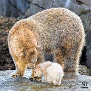 Erstmals hat der Zoo Schönbrunn den Eisbären-Nachwuchs präsentiert, das Tier zeigte sich noch ...
