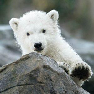 So süß ist unser Eisbären-Nachwuchs ❤ Wir können gar nicht genug bekommen! 😍 Auf das Jungtier wartet...