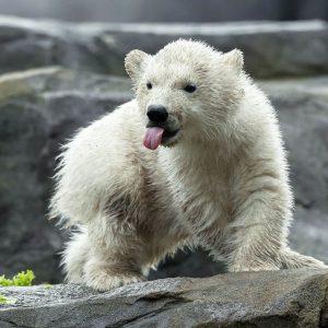 Abenteuerlustig geht unser Eisbären-Mädchen auf Entdeckungsreise. 😍 Die Kleine hält ihre Mutter ganz ...