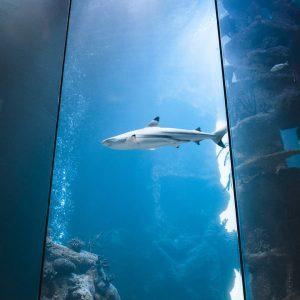 Heute um 18:00 Uhr ist wieder Haitauchen - einer unserer Taucher geht in das große Haibecken mit...