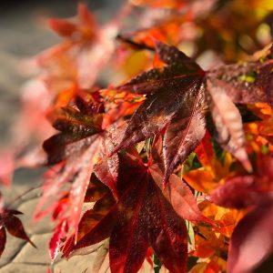 •🍁Autumncolors🍁• ~~~~~~~~~~~~~~~~~~~~~~~~~~~ #ahornblätter #ahornfarben #japanischerahorn #buntwiedasleben #herrlicheherbstfarben #soschönorange #autumncolors🍁 #colorsofautumn #mapleleaves🍁 #mapletree #japanesegarden #greatcolors #redandorangeleaves #autumnvibes #autumnmood...
