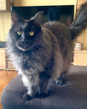 #blue #instacats #cats #catsofinstagram #catlovers #cute #lovelycat #mainecoon #petstagram #pet #instapet #petsofinstagram #catstagram #mainecoonsofinstagram #mainecoonlovers #katze #mainecoons