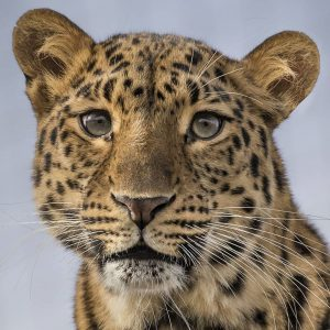 Was für eine Schönheit! 😍 Der Amurleopard zählt zu den elegantesten & gleichzeitig ...